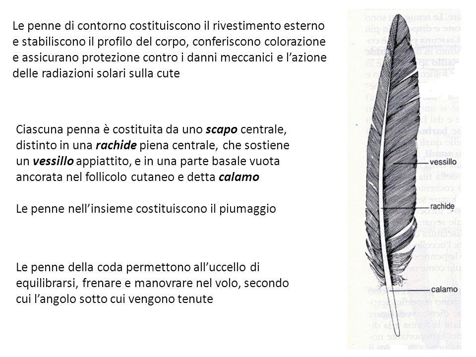 Le penne di contorno costituiscono il rivestimento esterno e stabiliscono il profilo del corpo, conferiscono colorazione e assicurano protezione contro i danni meccanici e l'azione delle radiazioni solari sulla cute
