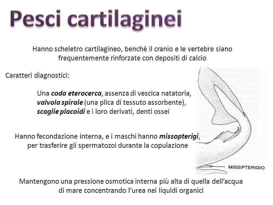Pesci cartilaginei Hanno scheletro cartilagineo, benchè il cranio e le vertebre siano frequentemente rinforzate con depositi di calcio.