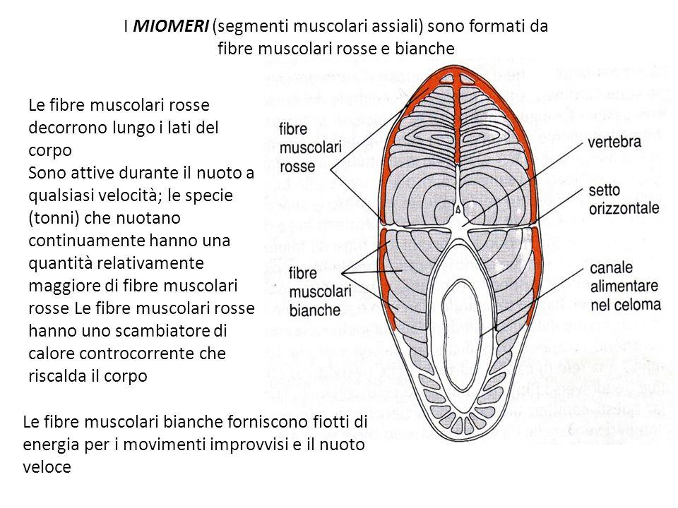 I MIOMERI (segmenti muscolari assiali) sono formati da