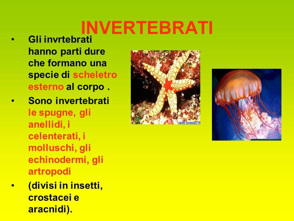 INVERTEBRATI Gli invrtebrati hanno parti dure che formano una specie di scheletro esterno al corpo .