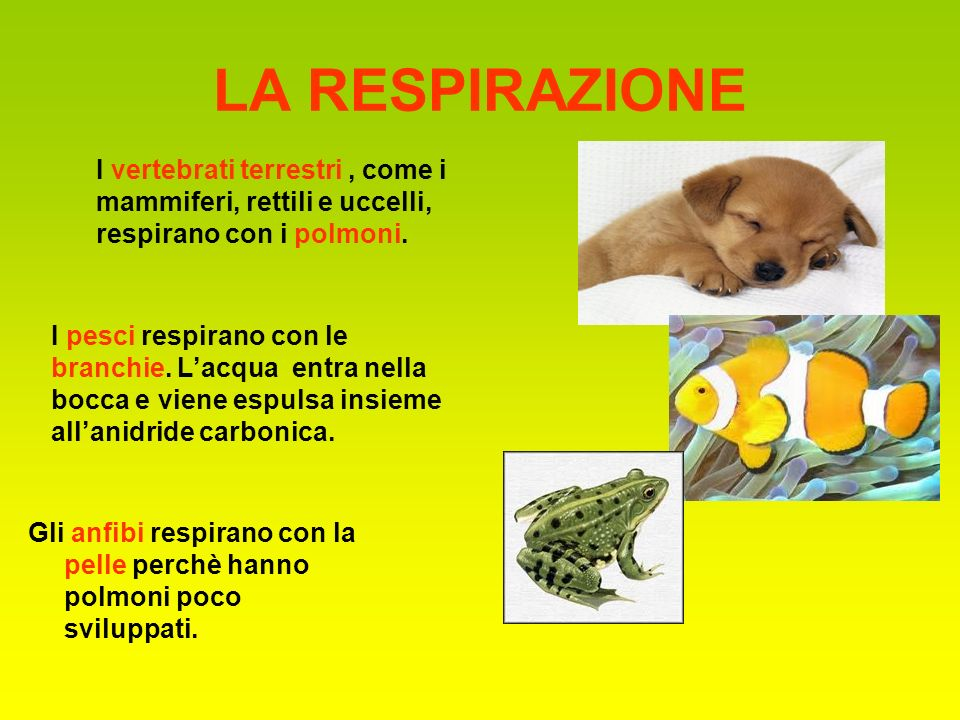 LA RESPIRAZIONE I vertebrati terrestri , come i mammiferi, rettili e uccelli, respirano con i polmoni.