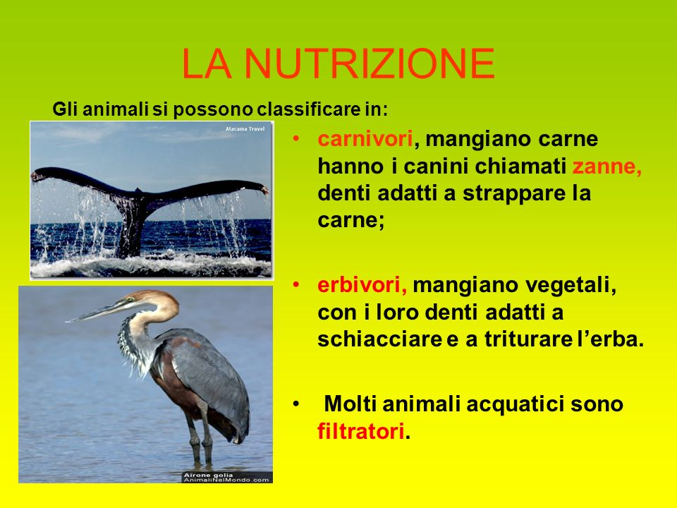 LA NUTRIZIONE Gli animali si possono classificare in: carnivori, mangiano carne hanno i canini chiamati zanne, denti adatti a strappare la carne;