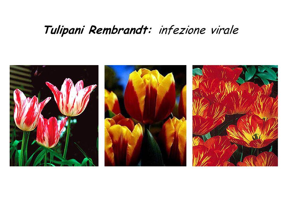 Tulipani Rembrandt: infezione virale