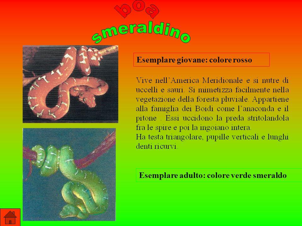 boa smeraldino Esemplare giovane: colore rosso