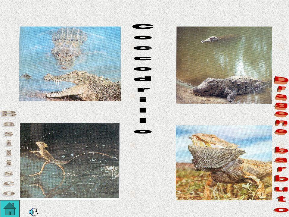 Coccodrillo Dragone barbuto Basilisco