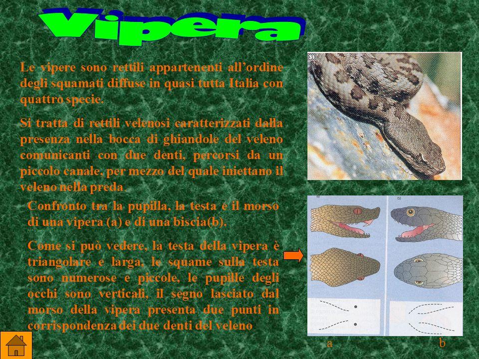 Vipera Le vipere sono rettili appartenenti all'ordine degli squamati diffuse in quasi tutta Italia con quattro specie.
