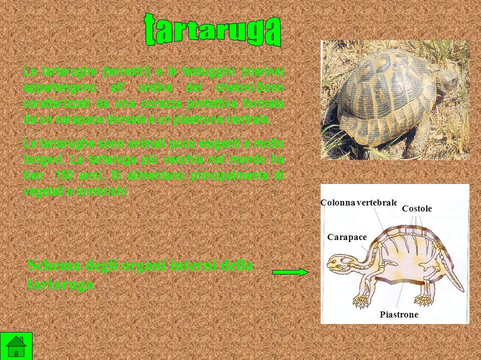 tartaruga Schema degli organi interni della tartaruga