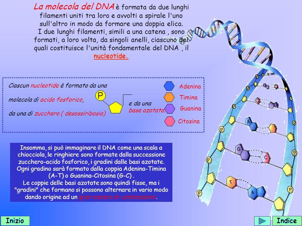 La molecola del DNA è formata da due lunghi filamenti uniti tra loro e avvolti a spirale l uno sull altro in modo da formare una doppia elica.