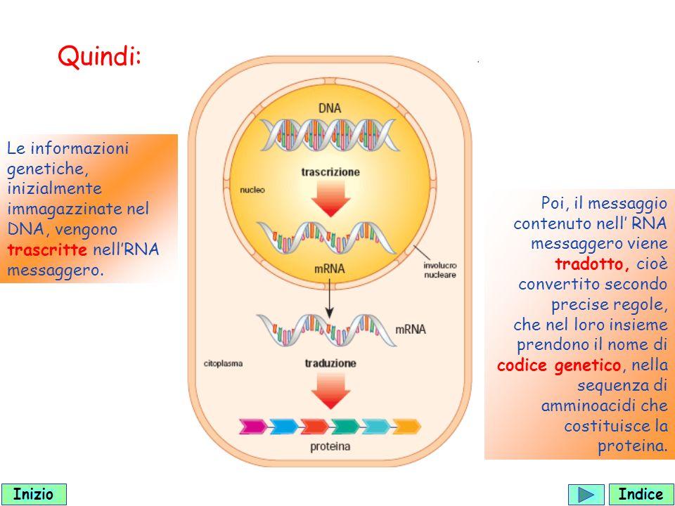 Quindi: Le informazioni genetiche, inizialmente immagazzinate nel DNA, vengono trascritte nell'RNA messaggero.