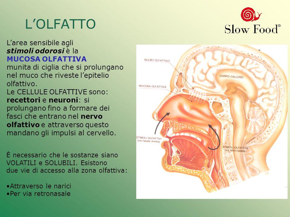 L'OLFATTO L'area sensibile agli stimoli odorosi è la MUCOSA OLFATTIVA