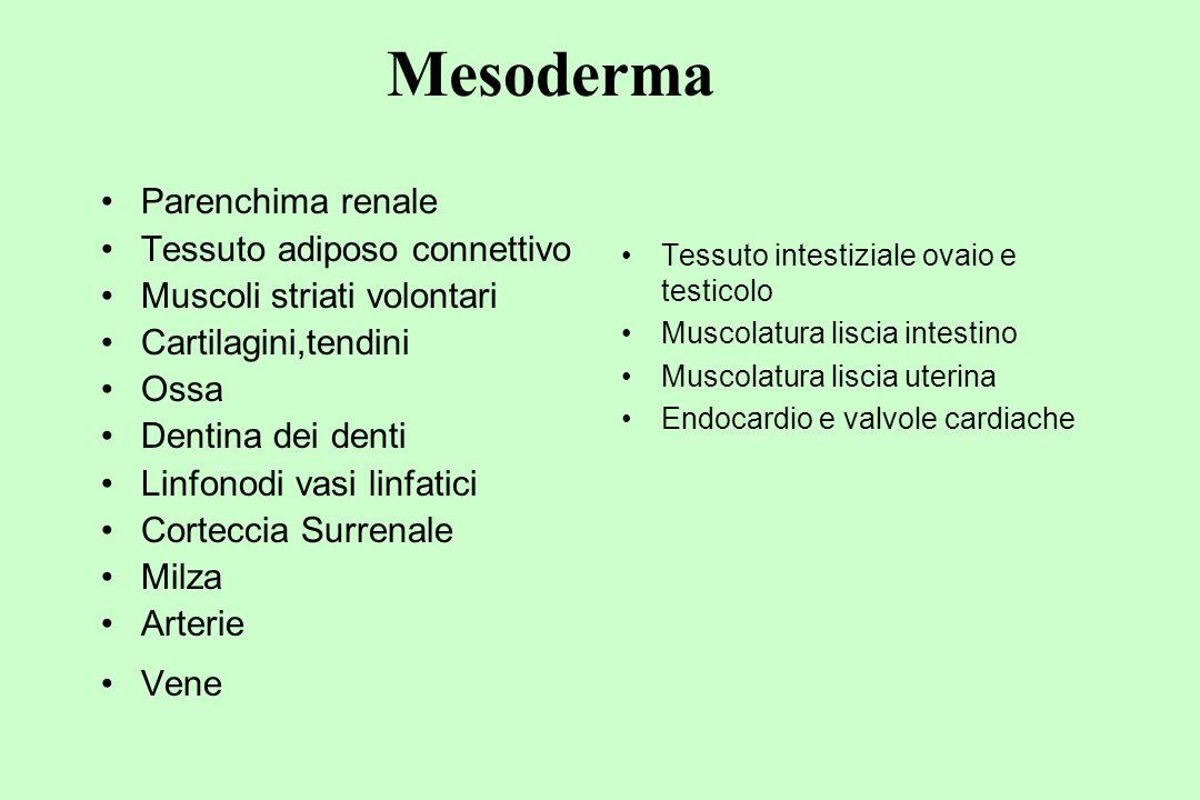 Mesoderma Parenchima renale Tessuto adiposo connettivo