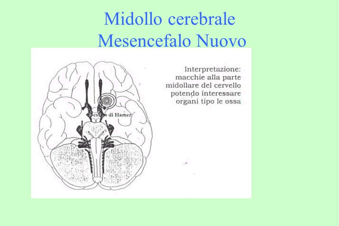 Midollo cerebrale Mesencefalo Nuovo