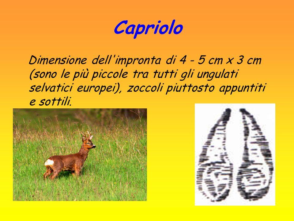 Capriolo
