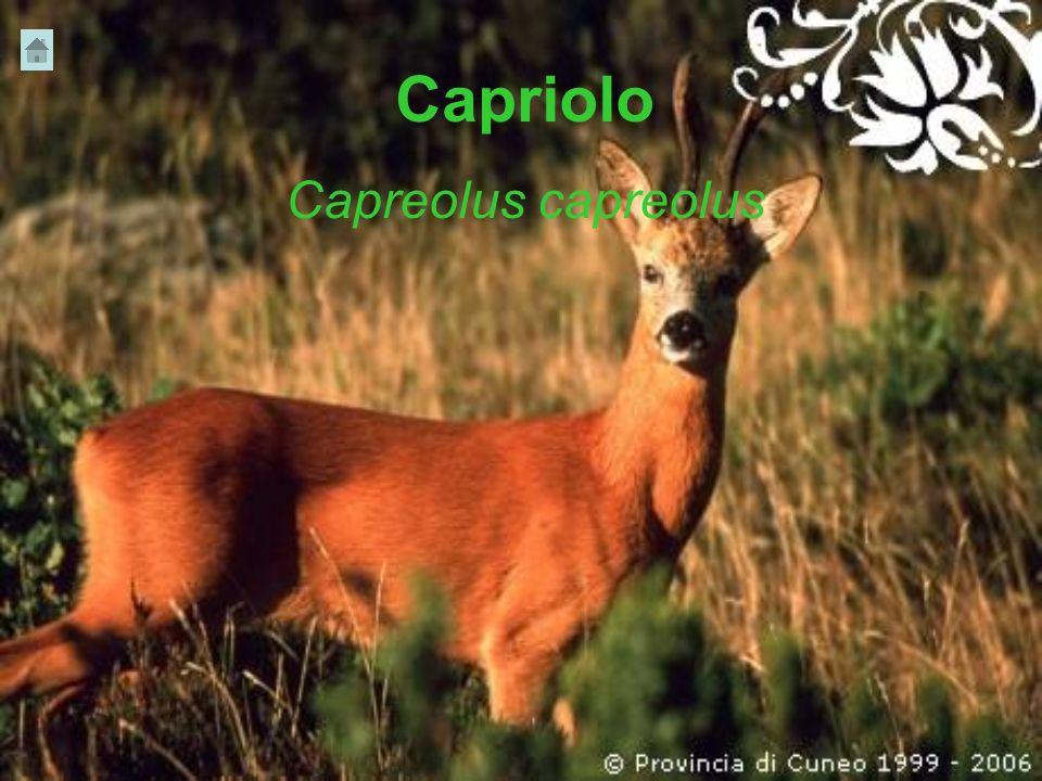Capriolo Capreolus capreolus