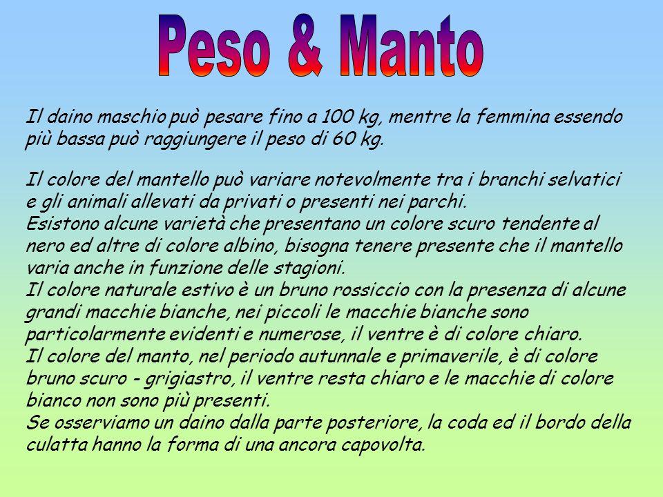 Peso & Manto Il daino maschio può pesare fino a 100 kg, mentre la femmina essendo più bassa può raggiungere il peso di 60 kg.