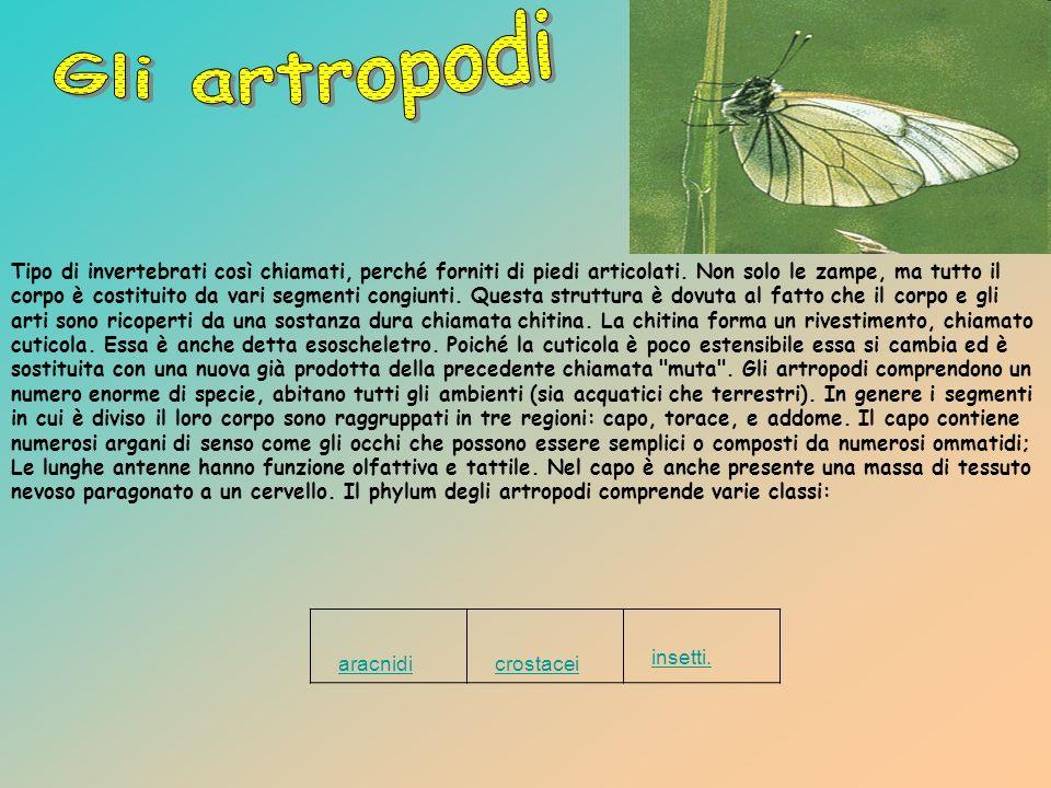 Gli artropodi aracnidi crostacei insetti.