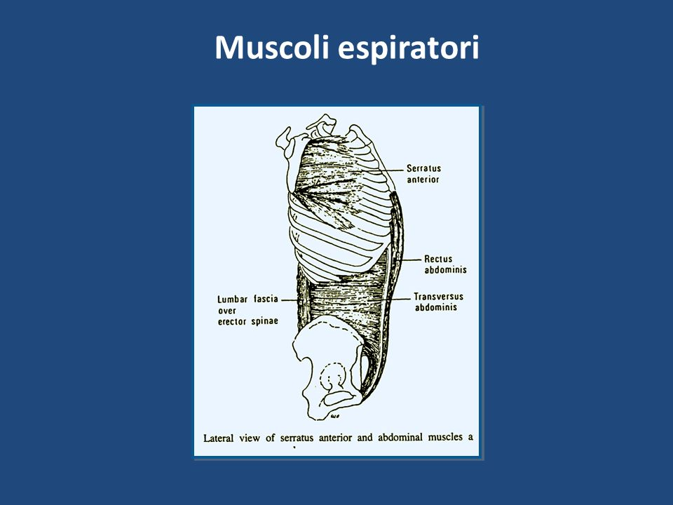 Muscoli espiratori