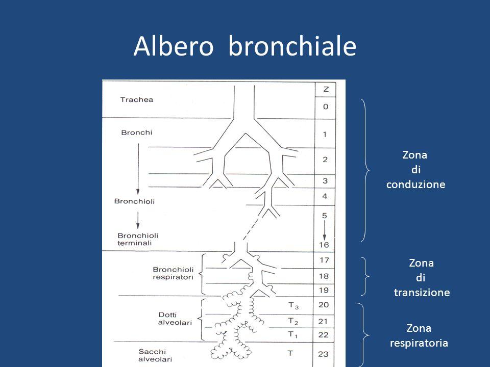 Albero bronchiale Zona di conduzione Zona di transizione Zona