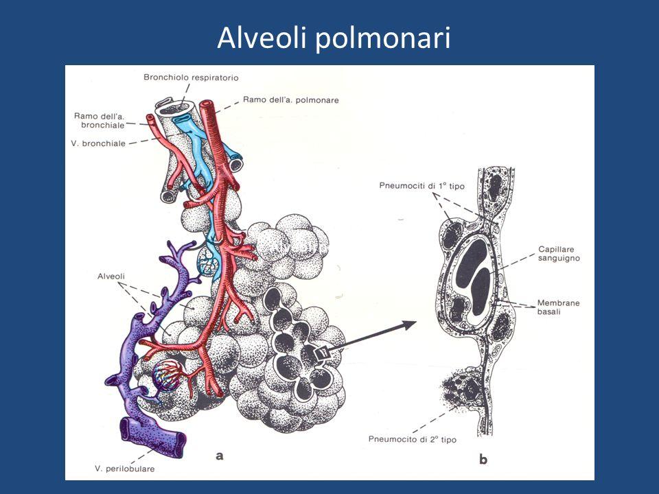 Alveoli polmonari Alveoli polmonari