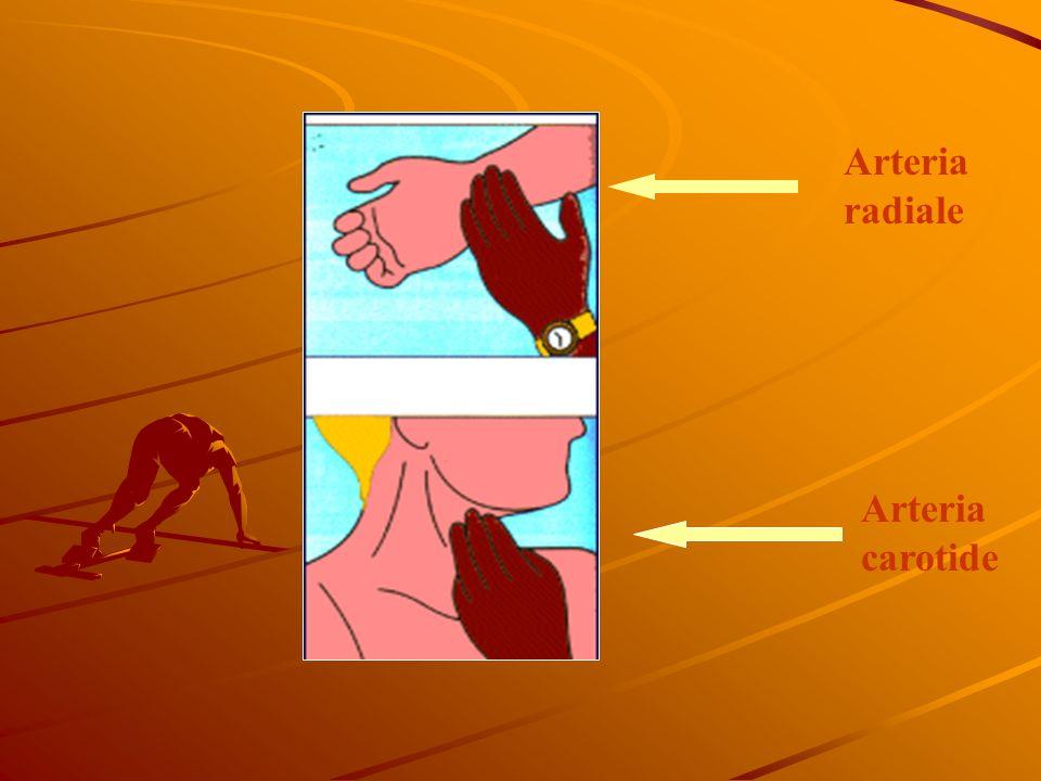 Arteria radiale Arteria carotide