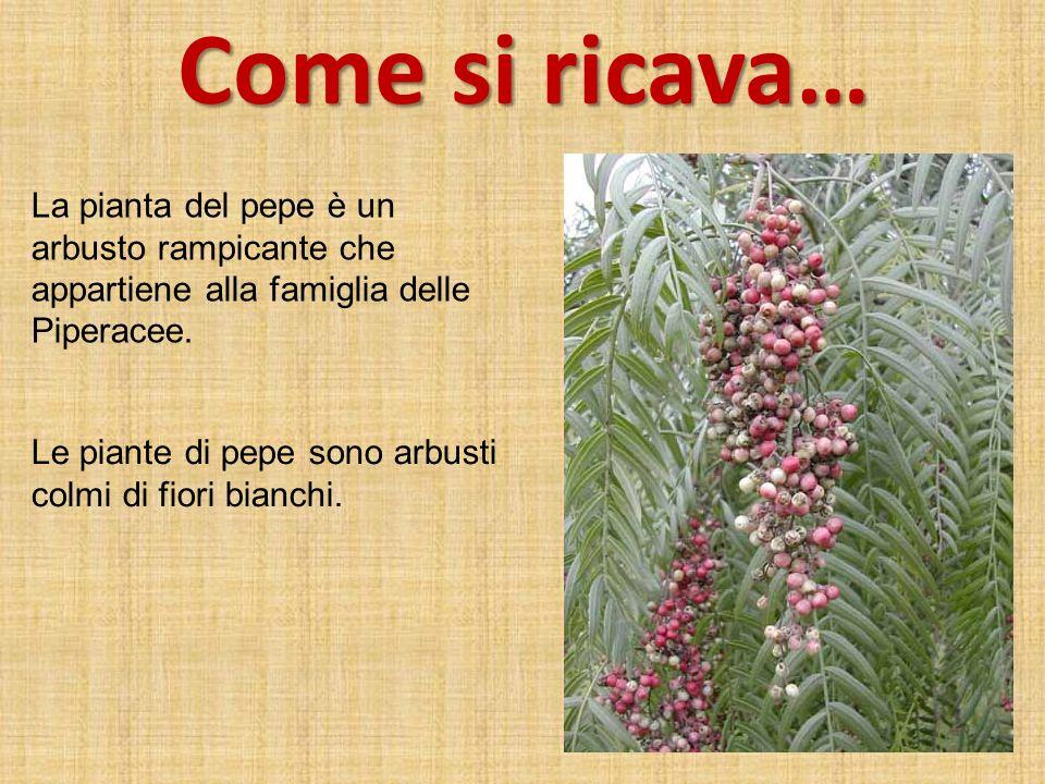 Come si ricava… La pianta del pepe è un arbusto rampicante che appartiene alla famiglia delle Piperacee.