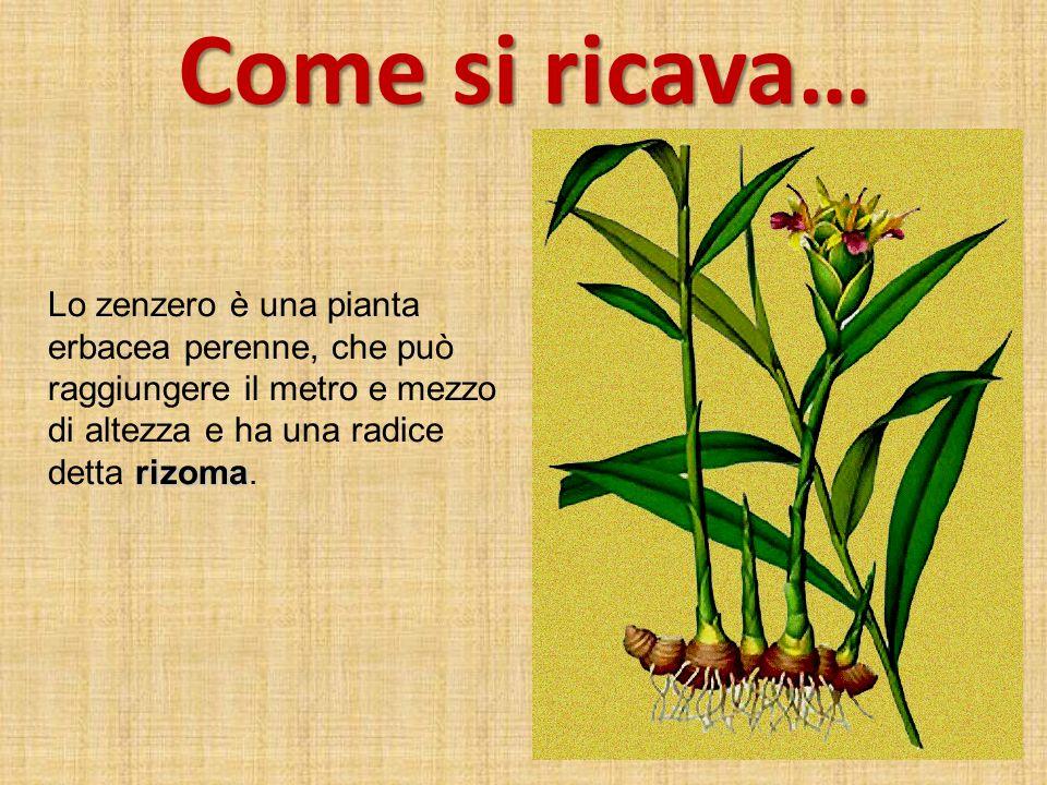 Come si ricava… Lo zenzero è una pianta erbacea perenne, che può raggiungere il metro e mezzo di altezza e ha una radice detta rizoma.