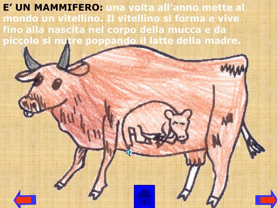 E' UN MAMMIFERO: una volta all'anno mette al mondo un vitellino