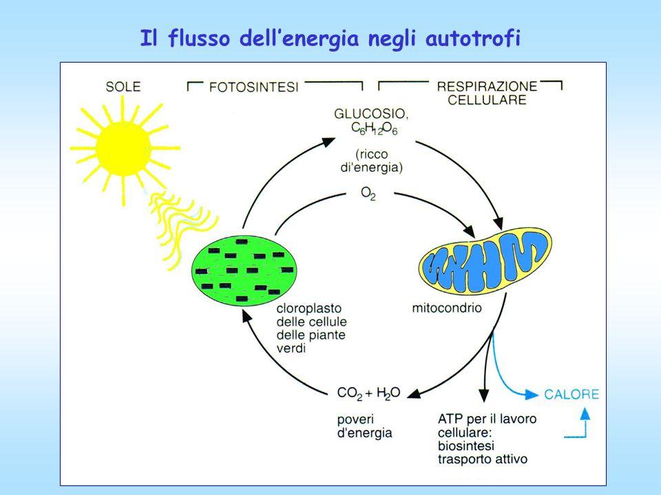 Il flusso dell'energia negli autotrofi
