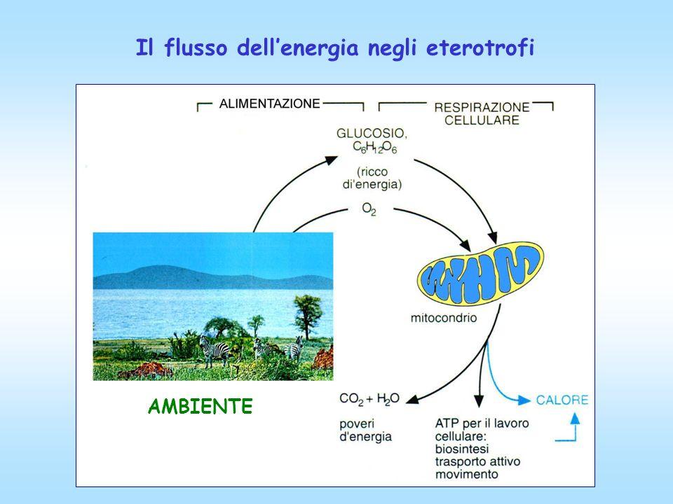 Il flusso dell'energia negli eterotrofi