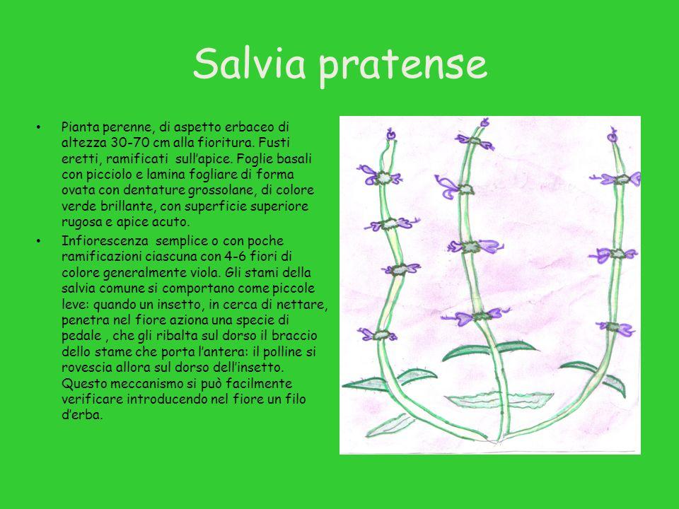 Salvia pratense