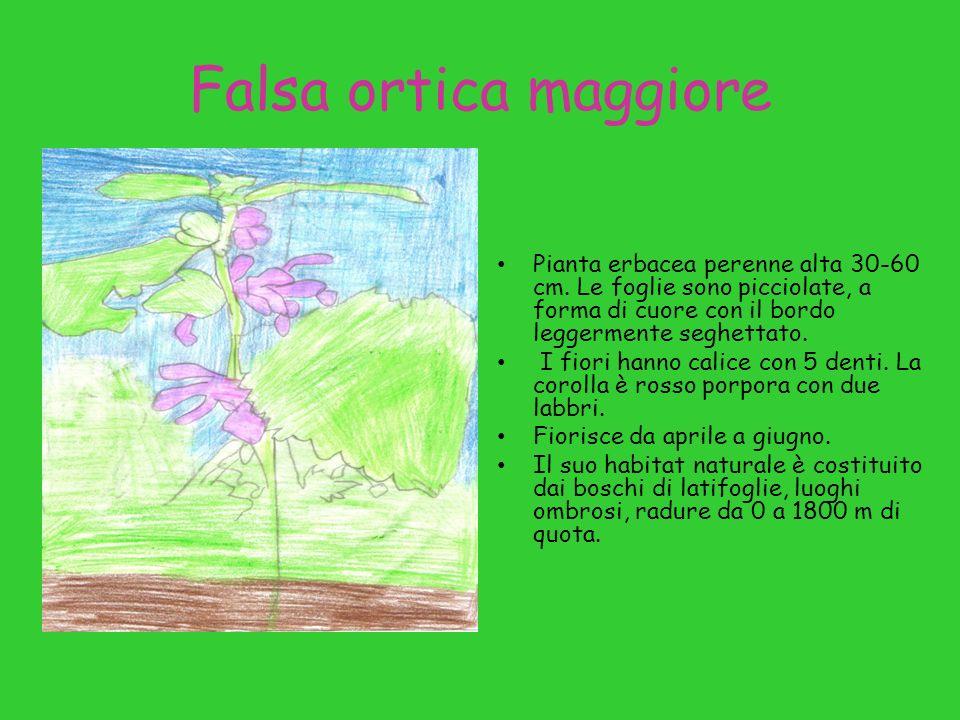 Falsa ortica maggiore Pianta erbacea perenne alta 30-60 cm. Le foglie sono picciolate, a forma di cuore con il bordo leggermente seghettato.