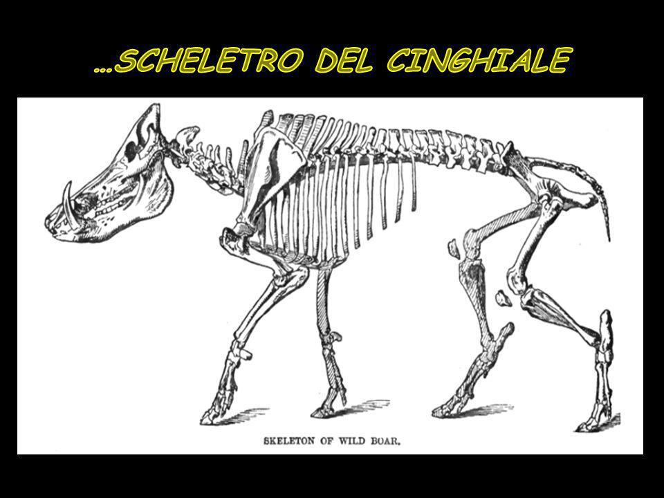 …SCHELETRO DEL CINGHIALE