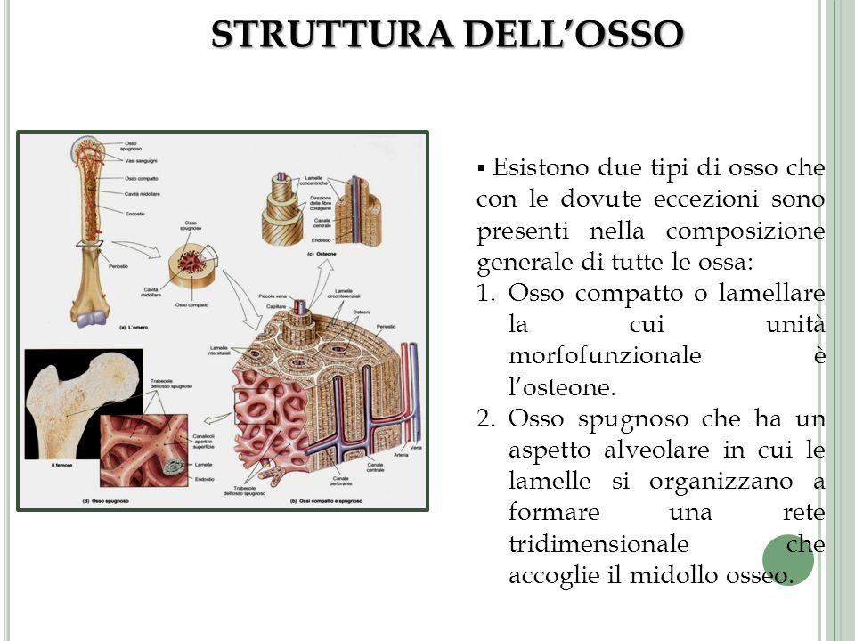 STRUTTURA DELL'OSSO Esistono due tipi di osso che con le dovute eccezioni sono presenti nella composizione generale di tutte le ossa: