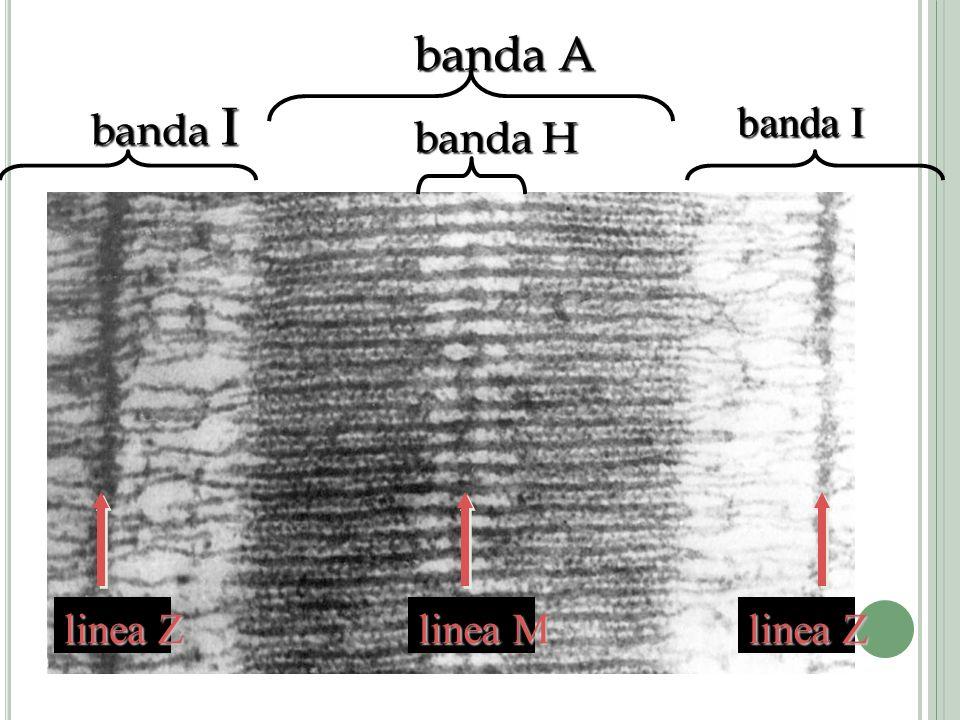 banda A banda I linea Z linea M banda H