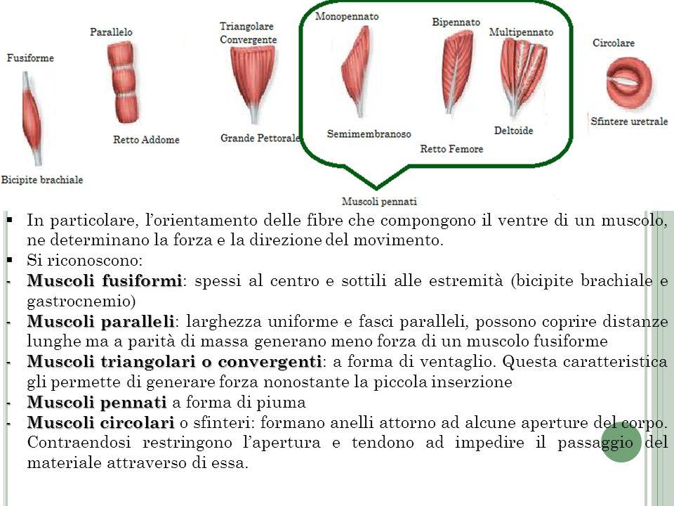 In particolare, l'orientamento delle fibre che compongono il ventre di un muscolo, ne determinano la forza e la direzione del movimento.