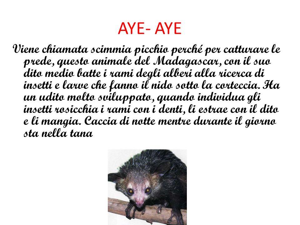 AYE- AYE