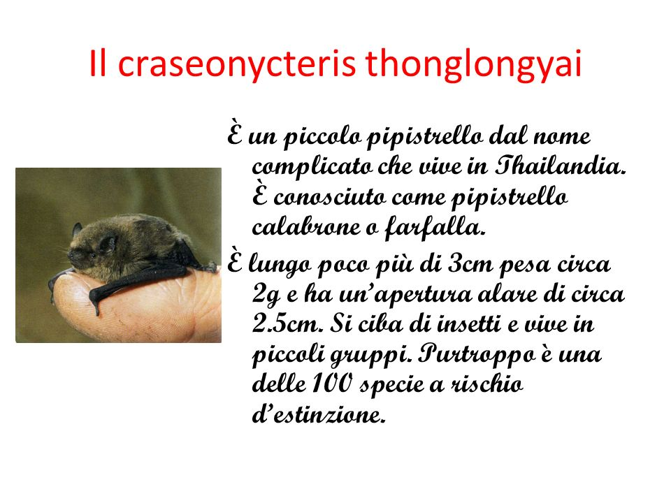 Il craseonycteris thonglongyai