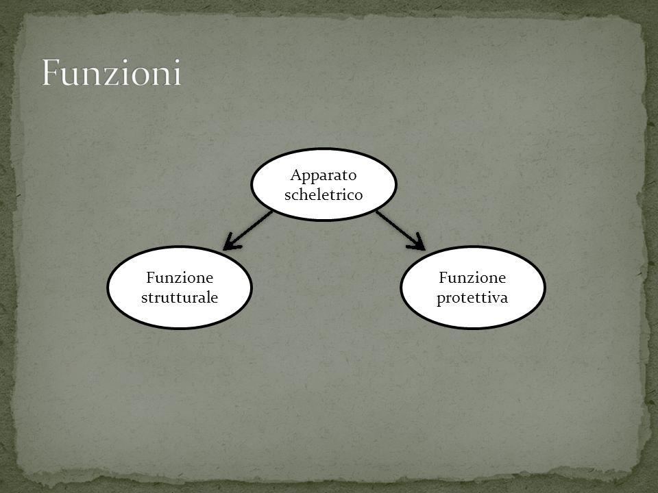 Funzioni Apparato scheletrico Funzione strutturale Funzione protettiva