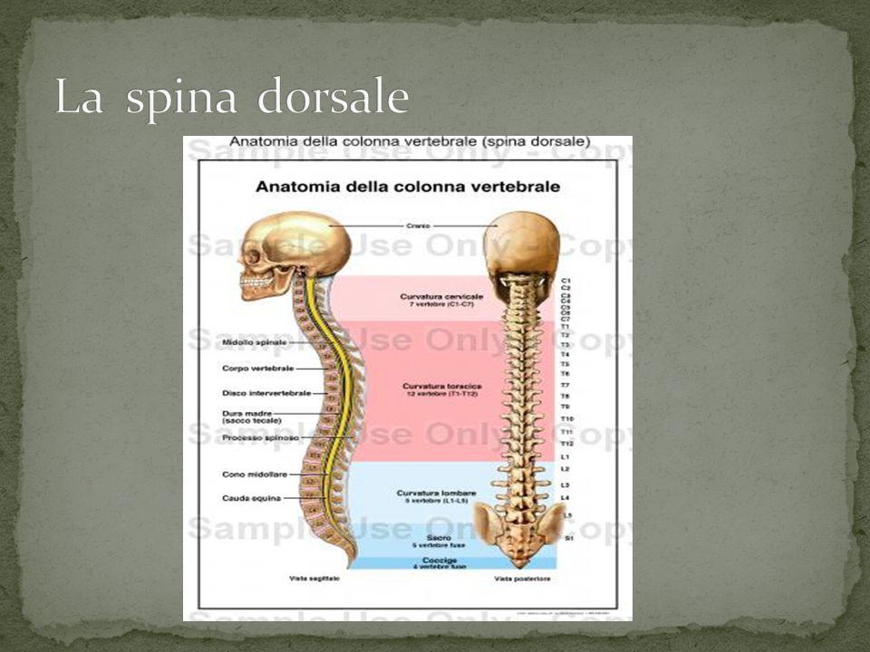La spina dorsale