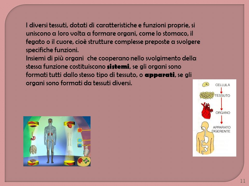 I diversi tessuti, dotati di caratteristiche e funzioni proprie, si uniscono a loro volta a formare organi, come lo stomaco, il fegato o il cuore, cioè strutture complesse preposte a svolgere specifiche funzioni.