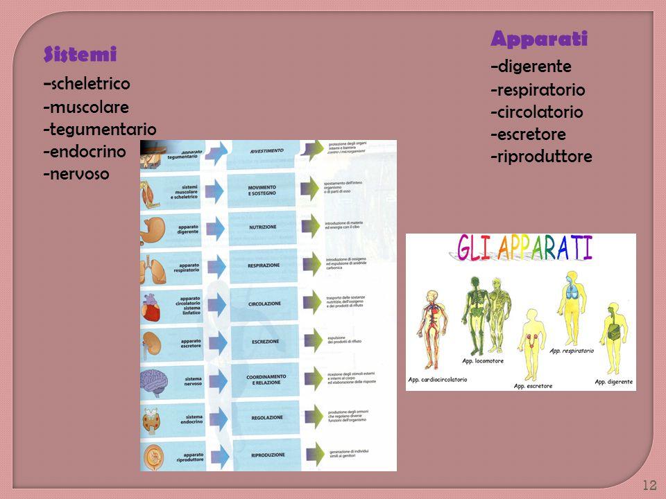-scheletrico Apparati -digerente Sistemi -respiratorio -circolatorio