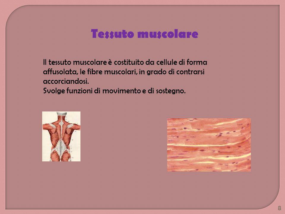 Tessuto muscolare Il tessuto muscolare è costituito da cellule di forma affusolata, le fibre muscolari, in grado di contrarsi accorciandosi.