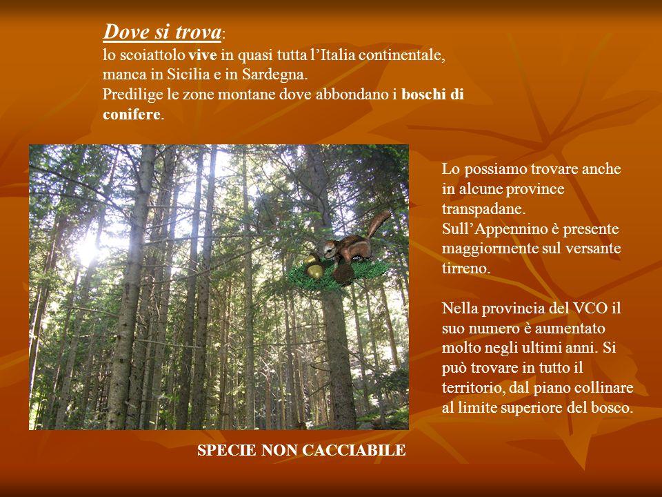 Dove si trova: lo scoiattolo vive in quasi tutta l'Italia continentale, manca in Sicilia e in Sardegna.
