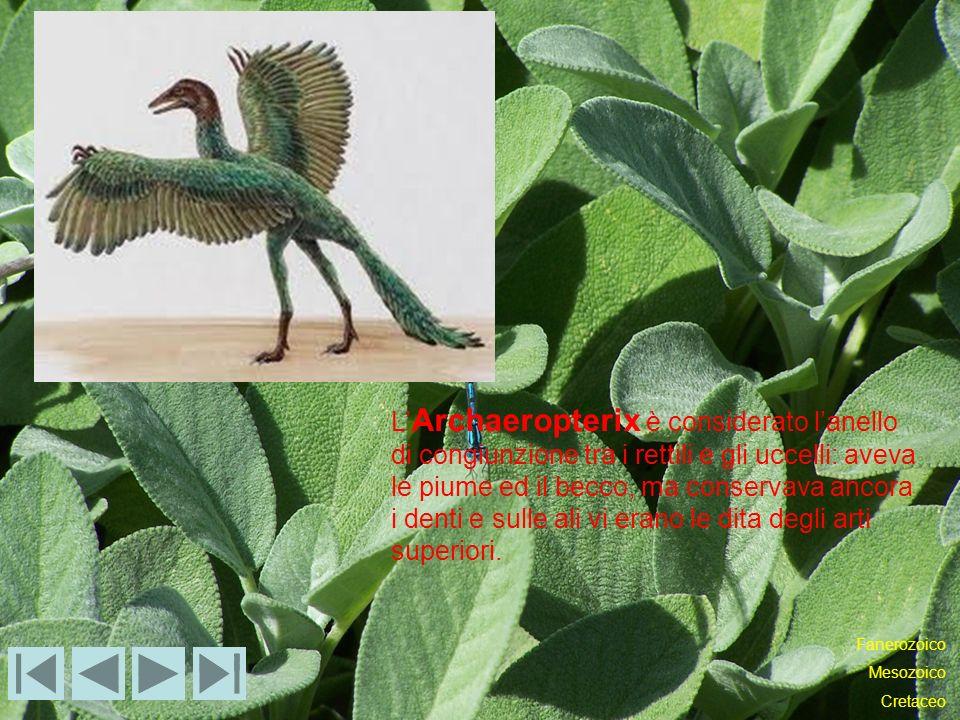 L'Archaeropterix è considerato l'anello di congiunzione tra i rettili e gli uccelli: aveva le piume ed il becco, ma conservava ancora i denti e sulle ali vi erano le dita degli arti superiori.