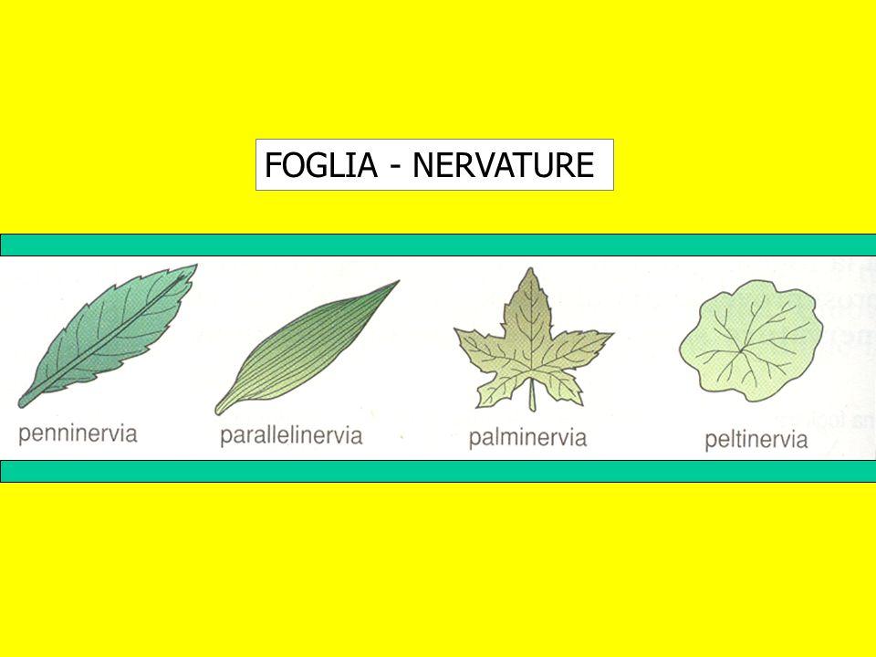 FOGLIA - NERVATURE