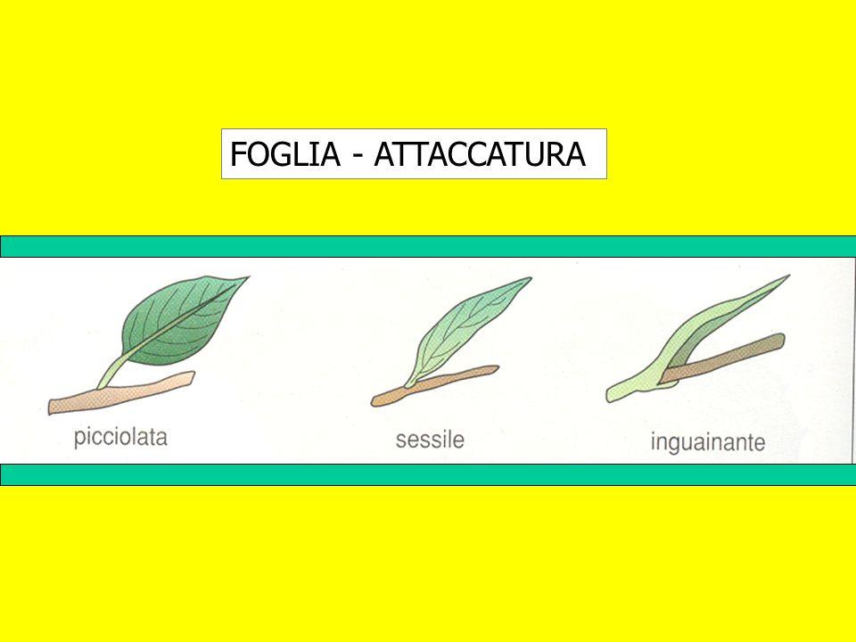 FOGLIA - ATTACCATURA