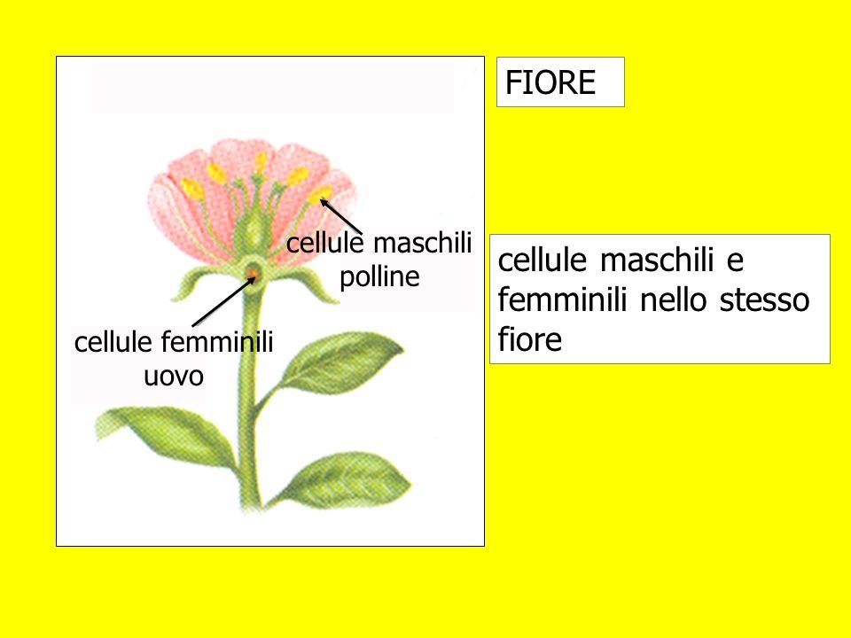cellule maschili e femminili nello stesso fiore