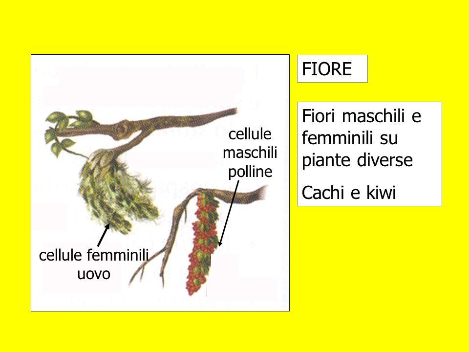 Fiori maschili e femminili su piante diverse