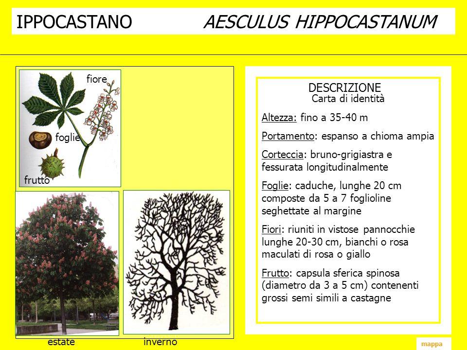 IPPOCASTANO AESCULUS HIPPOCASTANUM
