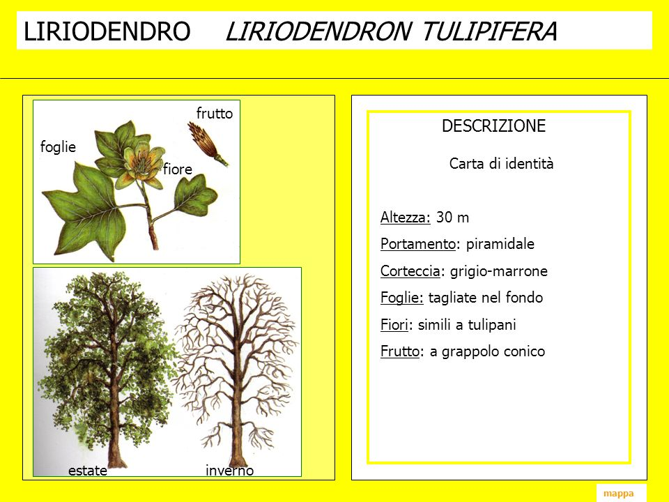 LIRIODENDRO LIRIODENDRON TULIPIFERA